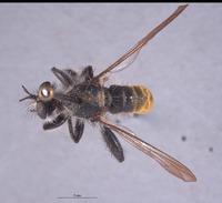 Image of Laphria aeatus