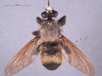 Image of Laphria champlainii